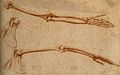 The bones of arm and scapula; three figures. Red-chalk drawi Wellcome V0007890ER.jpg