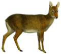 The deer of all lands (1898) Chinese water deer white background.png