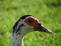 The head of a goose in National Park Ramat Gan.jpg