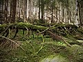 The old forest in Rödgölen's reserve.jpg