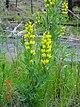 Thermopsis montana.jpg