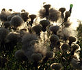 Thistle Tufts against the Sun - geograph.org.uk - 1426175.jpg
