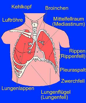 Anatomie der Lunge