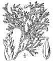 Thuja occidentalis drawing.png