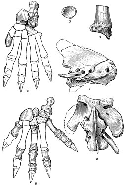 Atlas, axis, and limb bones; the outlines of the missing foot bones are restored after the thylacine Thylacosmilus atlas, axis, and limb bones.jpg