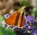 Thymelicus Unbekannter Schmetterling3.png