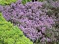 Thymus 'Porlock'.jpg