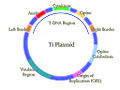 Ti Plasmid.jpg
