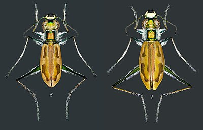 Tiger beetle Hypaetha ornatipennis Schilder, 1953, male and female.jpg
