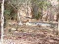 Tiger image30.jpg