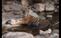 Tiger in Ranthambore 7.png