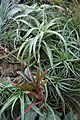 Tillandsia albertiana (2676452621).jpg