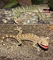 Tokay gecko (Gekko gecko) adult male and juvenile.jpg