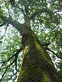 Toona ciliata var. pubescens.jpg