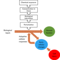 Toxicity Pathway depicting how chemical exposure could lead to cell injiry.png