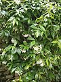 Trachelospermum jasminoides RHu 01.JPG