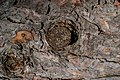 Tree Knot Bark Texture DTXR-WD-BK-2.jpg
