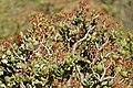 Tree Stonecrop (Crassula arborescens) (32647205655).jpg