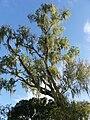 Tree in Domburg, Suriname 2.JPG