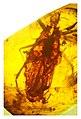 Triatoma dominicana holotype.jpg