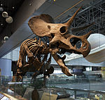 Triceratops skeleton at National Science Museum in South Korea.jpg