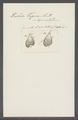 Trichoda trigona - - Print - Iconographia Zoologica - Special Collections University of Amsterdam - UBAINV0274 113 15 0028.tif
