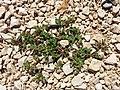Trifolium scabrum sl1.jpg
