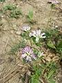 Trifolium suaveolens sl3.jpg