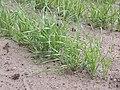 Triticum dicoccum bruinkafemmertarwe.jpg