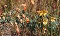Tropaeolum incisum flowergroup 3.jpg