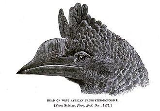 Trumpeter hornbill - Image: Trumpeter Hornbill