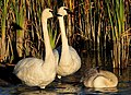 Trumpeter Swans on Seedskadee National Wildlife Refuge (22099192295).jpg