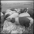 Tule Lake Relocation Center, Newell, California. A close up of hogs eating garbage at the temporary . . . - NARA - 536376.tif