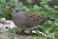 Turtle Dove compressed.jpg
