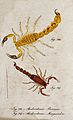 Two scorpions; Androctonus priamus and Androctonus margarelo Wellcome V0022409ER.jpg