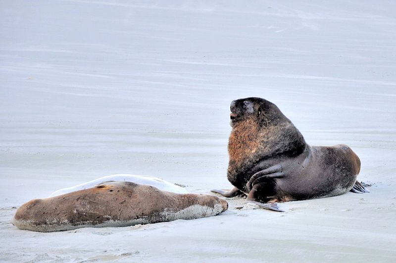 Two sea lions on the beach of Otago Peninsula.jpg