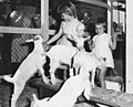 Two young girls petting kid goats at the Ekka in Brisbane, Queensland (16697086433).jpg