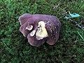 Tylopilus variobrunneus Roody, A.R. Bessette & Bessette 646147.jpg