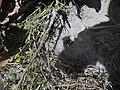 U Kambodži tarantula.jpg