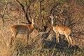 Ugandan kobs (Kobus kob thomasi) males.jpg