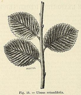 <i>Ulmus</i> Rotundifolia Elm cultivar