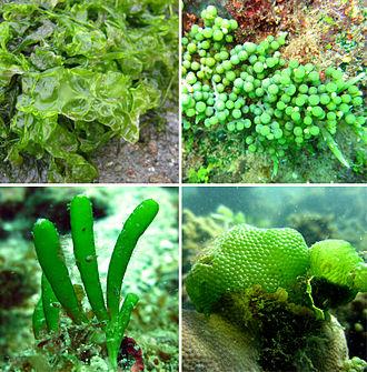 Chlorophytina - Composite image to illustrate the diversity of Chlorophytina. Top left: Ulva. Top right: Caulerpa. Bottom left: Bornetella. Bottom right: Dictyosphaeria.