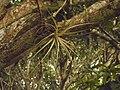 Uma Bromélia ou orquídea num pé de manga.jpg