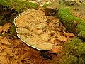 Unbekannter-Porling447.jpg