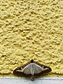Unidentified-butterfly-20190610-145516.jpg