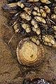 Unidentified mollusc (41335035240).jpg