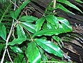 Unidentified rainforest plant Kerewong State Forest.jpg