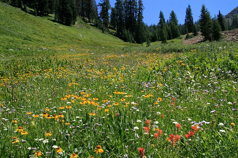 File:Up Flower Meadow Mineral King.jpg