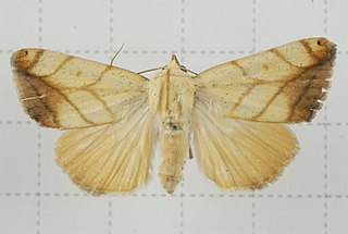<i>Xanthodes transversa</i> Species of moth