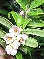 Vaccinium vitis-idaea flowers.jpg
